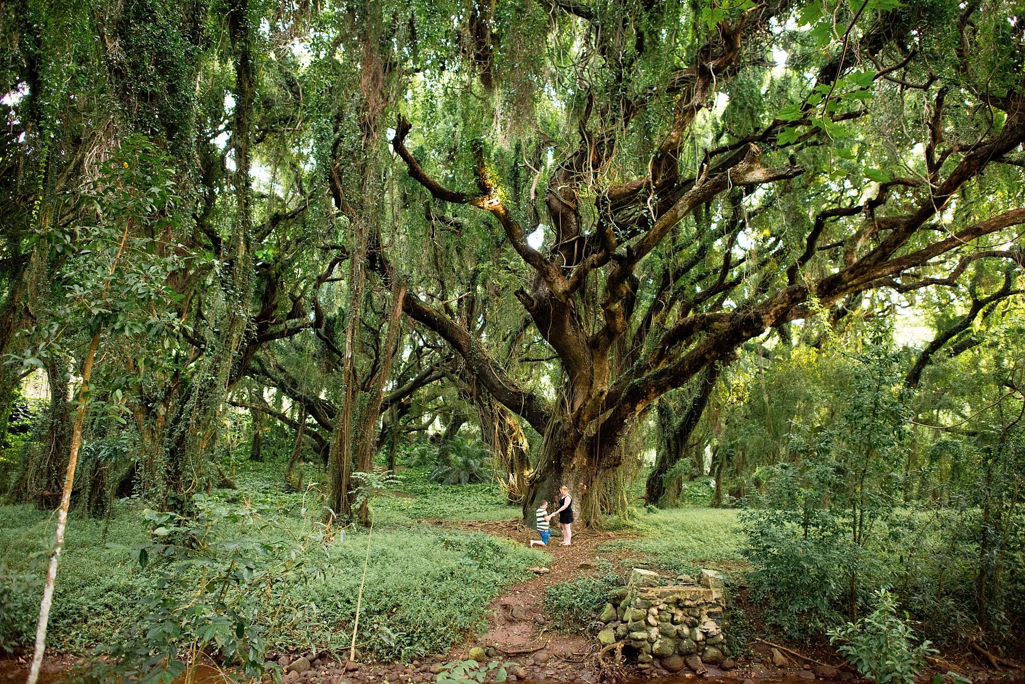 man proposing in front of big banyan tree